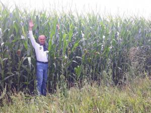 врожай кукукурудзи